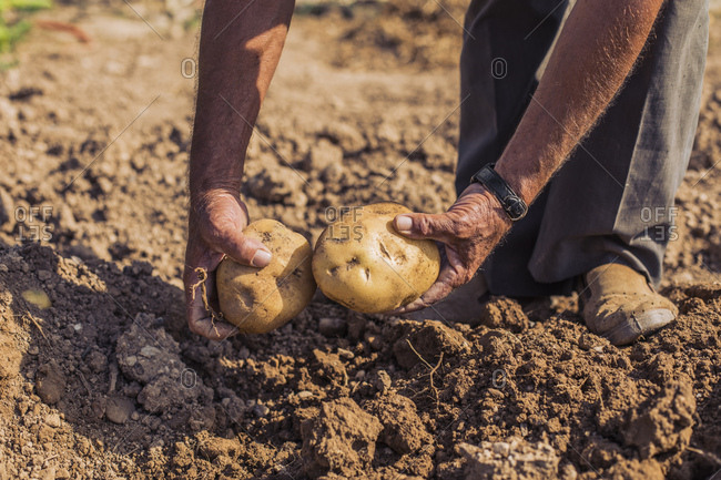 Man harvesting potatoes with pitchfork in a field