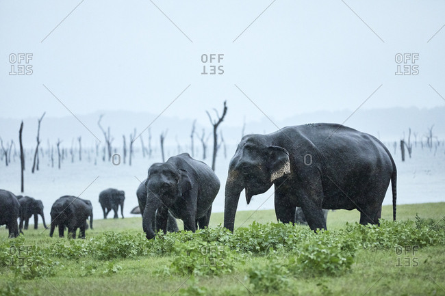 Herd of elephant grazing at Kaudulla National Park against clear sky