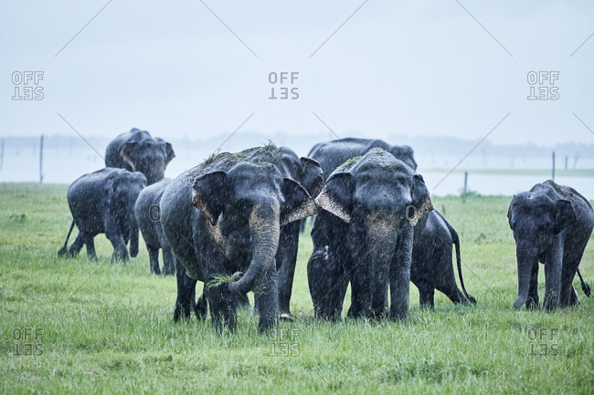 Asian elephants grazing at Kaudulla National Park against clear sky