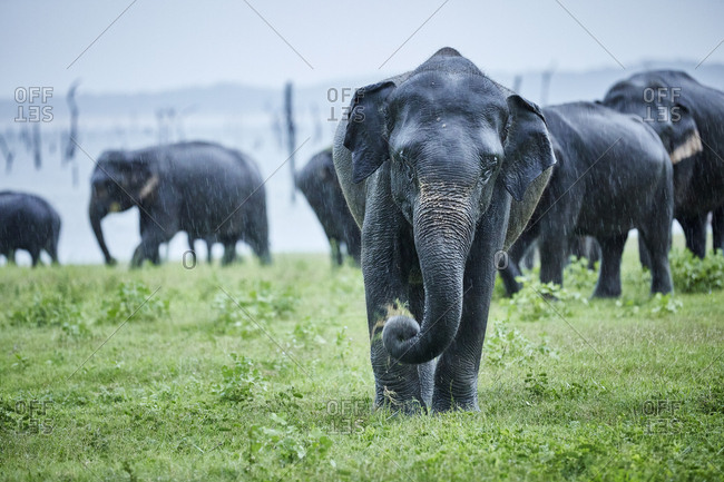 Asian elephant grazing against herd at Kaudulla National Park