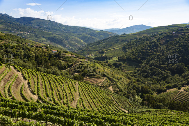 Scenic view of vineyards on hills against blue sky
