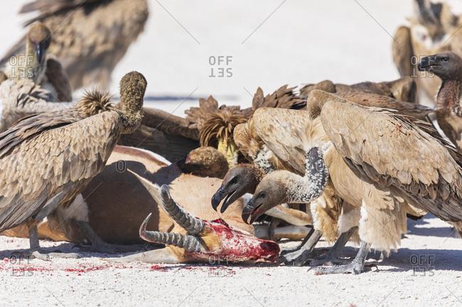Namibia- Etosha National Park- Cape griffons- gyps coprotheres- eating springbok