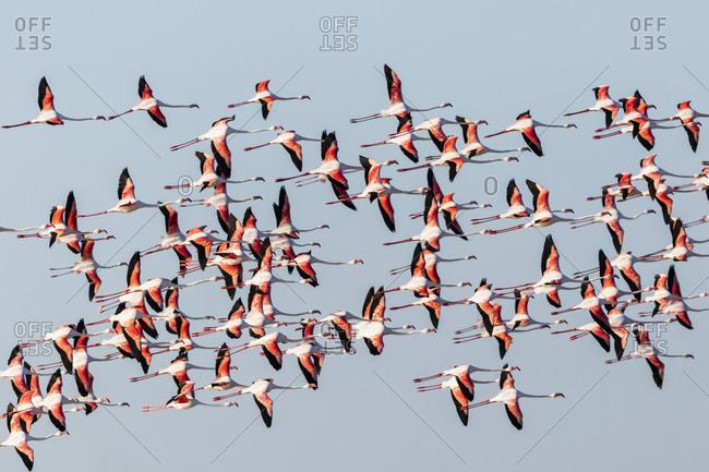 Namibia- Etosha National Park- Greater Flamingo (Phoenicopterus rubber- flying flock of birds