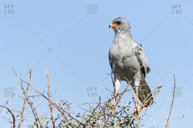 Namibia- Etosha National Park- Pale chanting goshawk- Melierax podiopterus
