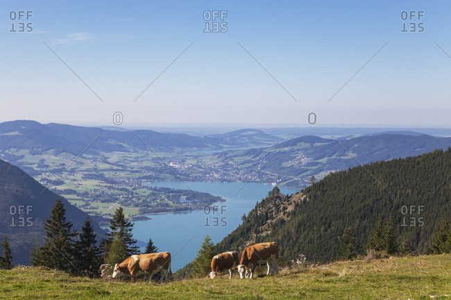Cows grazing on Schafberg against blue sky
