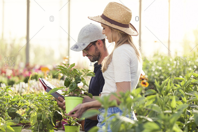 Young woman and man working with tablet in a greenhouse