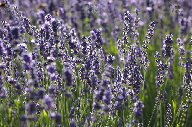 Full fame shot of fresh lavender flowers blooming outdoors