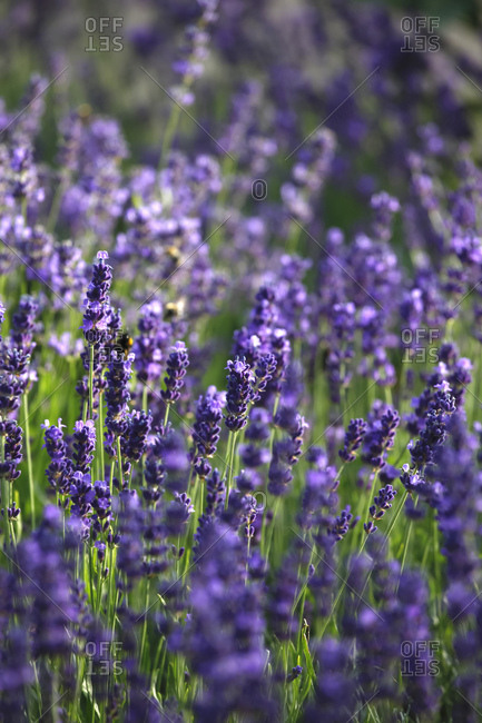 Close-up of fresh lavender flowers blooming outdoors