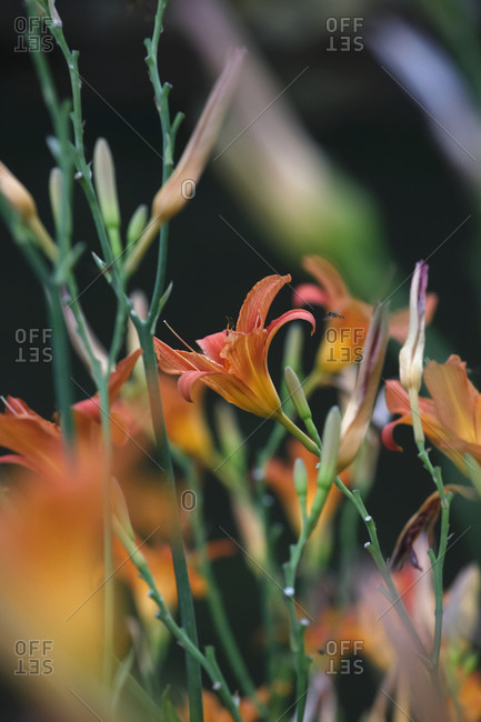 Close-up of fresh orange lily flowers