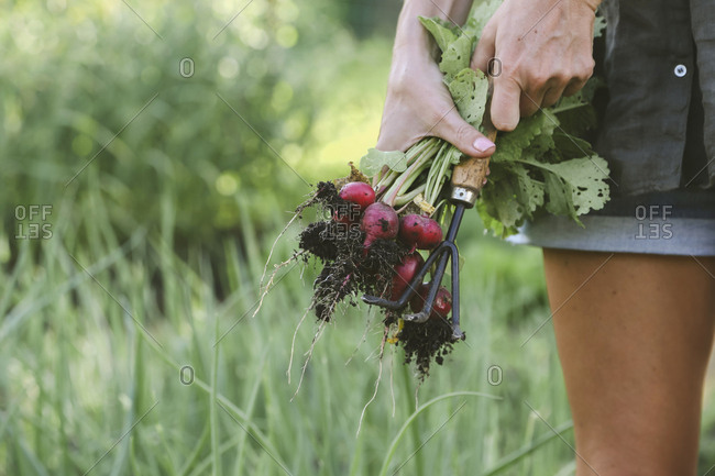 Close-up of woman harvesting red radish