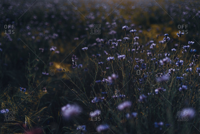 Full frame shot of fresh cornflowers blooming on field