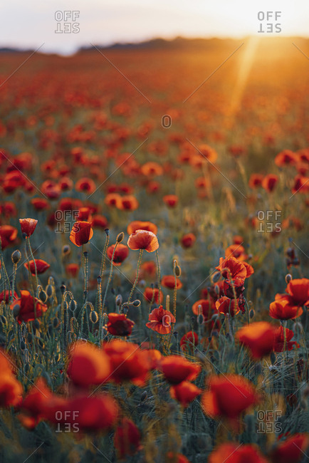Fresh poppy flowers blooming on field against sky during sunset