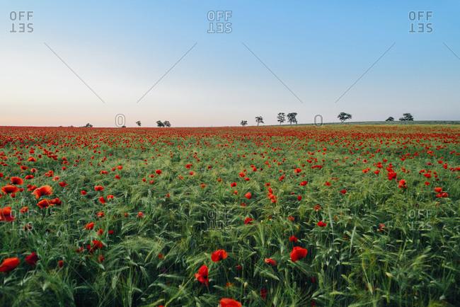 Fresh orange poppy flowers blooming on field against blue sky