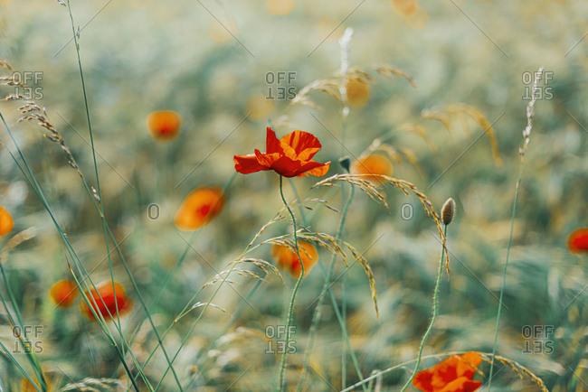 Close-up of fresh poppy flowers on field