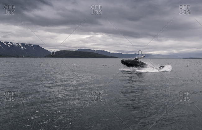 Humpback whale jumping in Eyjafjordur fjord- Iceland