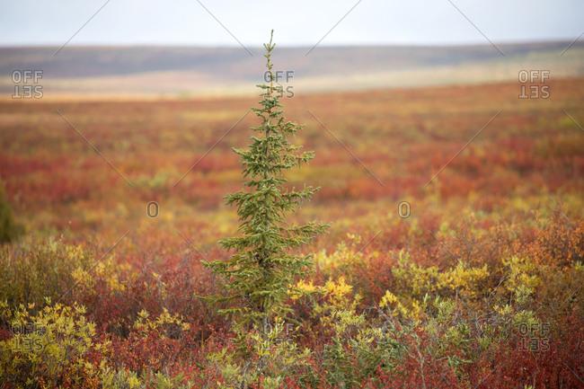 A lone pine tree in on tundra in fall, Central Region, Yukon, Canada