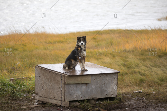 Dog on top of his house in the rain, Tuktoyaktuk, Canada