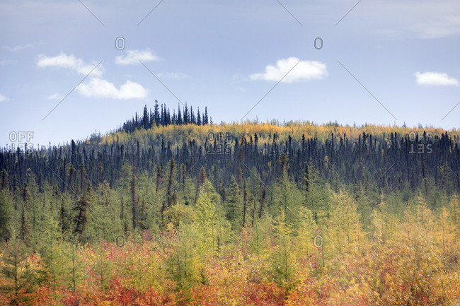Canada , Yukon, Dempster highway at fall forest of colorful trees seen from roadway