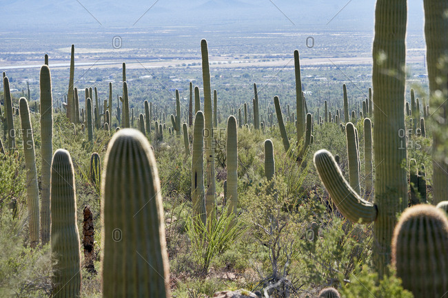 Vast desert landscape with green cacti in Saguaro National Park, Arizona
