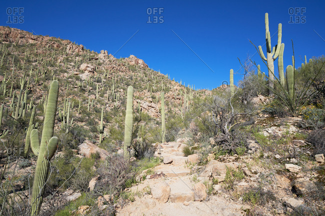 Low angle view of cacti on rocky hillside in Saguaro National Park, Arizona