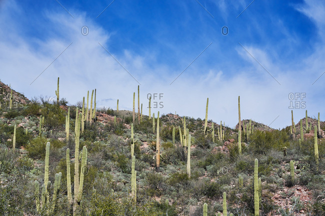 Cacti on hillside in Saguaro National Park, Arizona
