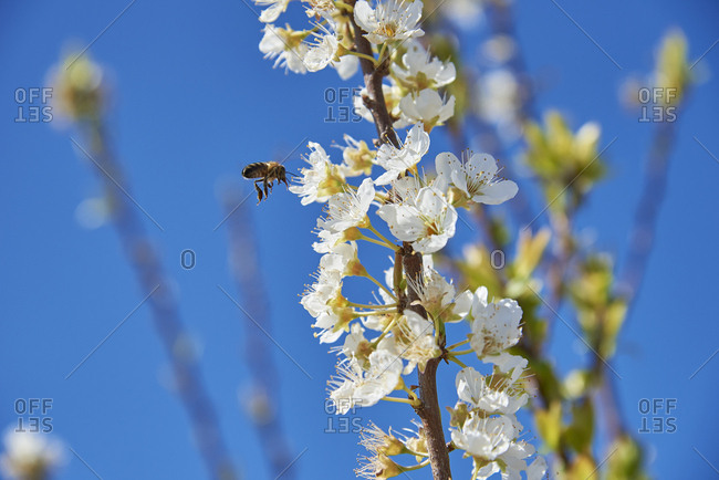 Close-Up detail of bee and plum flower blossoms (Prunus Mume), Beja, Alentejo, Portugal