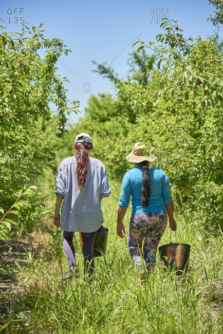 Two women walking thru a plum picking in the field on a sunny day, Beja, Alentejo, Portugal