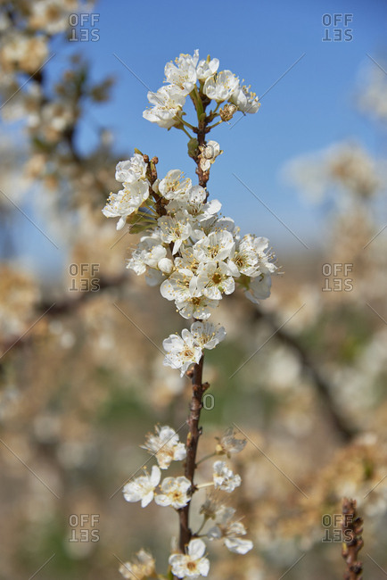 Close-Up detail of plum flower blossoms(Prunus Mume), Beja, Alentejo, Portugal