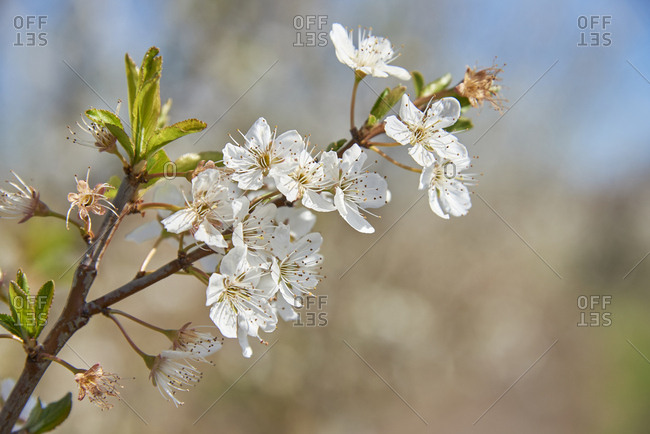 Detail of plum flower blossoms(Prunus Mume), Beja, Alentejo, Portugal