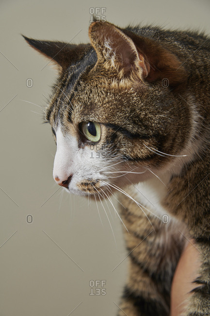 Profile of a young brown tabby cat on a warm gray background