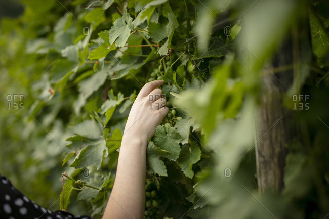 Hand picking grape