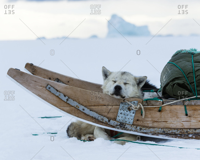 Dog sleeping in sledge