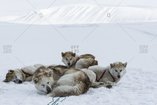 Dogs lying on snow