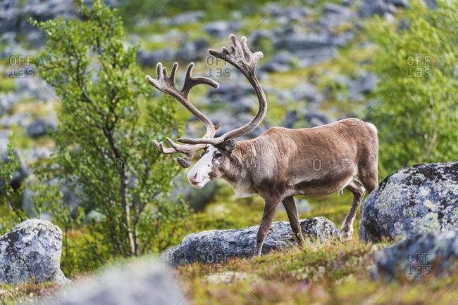 Reindeer walking outdoors