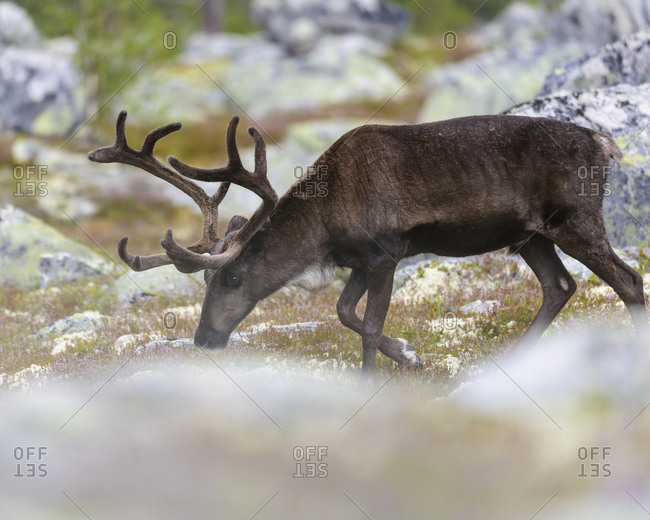 Reindeer grazing outdoors