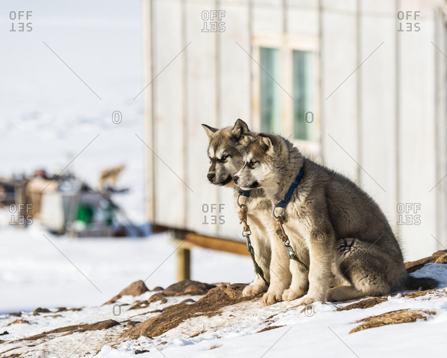 Huskies on snow