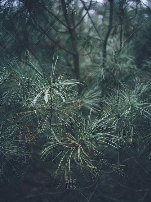 Pine twigs close up
