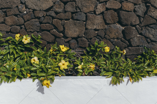 Yellow flower on white and rocks wall