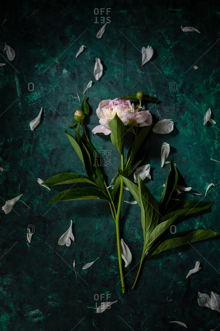 One peony flower on dark background