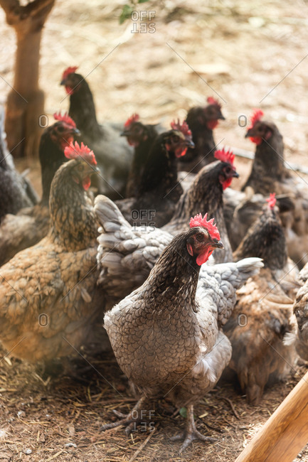 Group of chickens on a farm