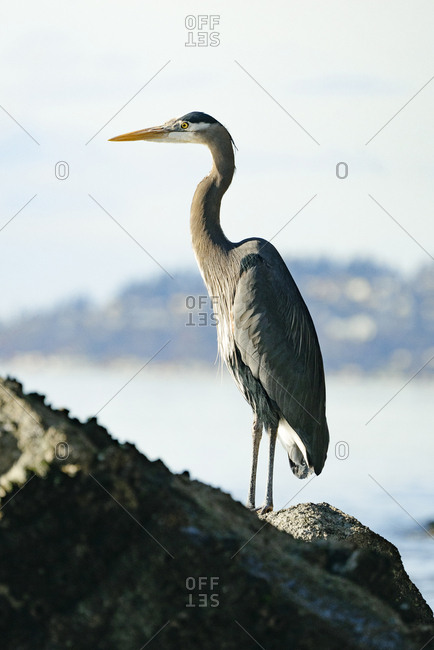 Closeup portrait of a Great Blue Heron standing on in the Puget Sound