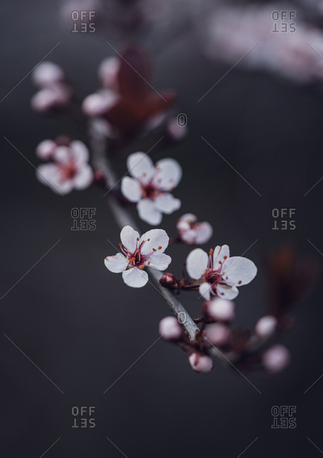 Close up of blossoms on a flowering  sand cherry tree in the spring.