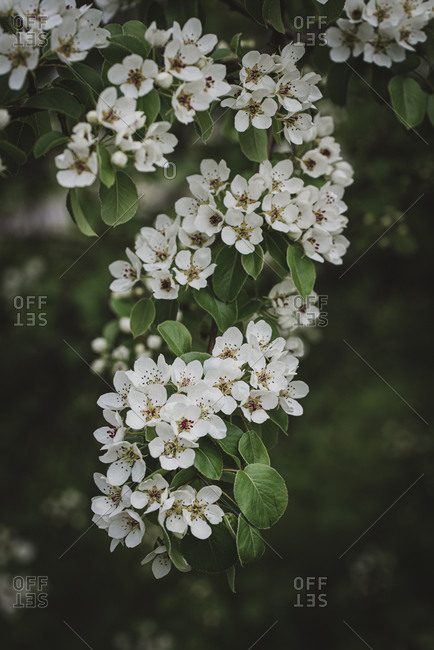 White flowers and buds on a tree blooming in the spring.