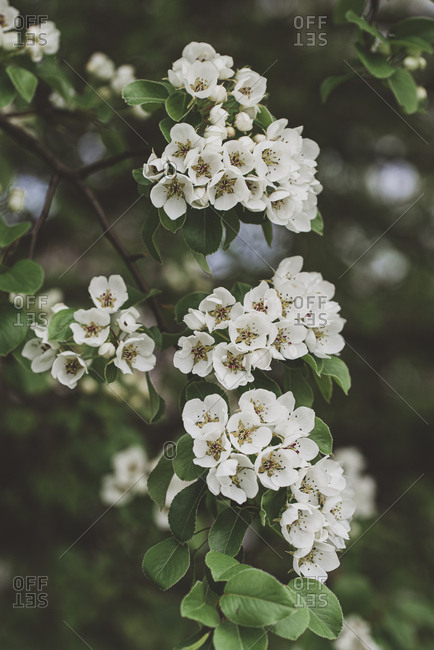 Close up of white flowers and buds on a tree blooming in the spring.