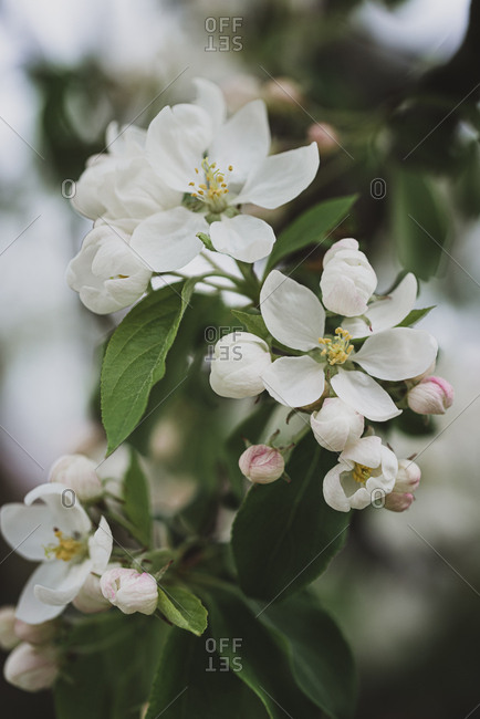 Close up of white flowers blooming on a tree in the spring.