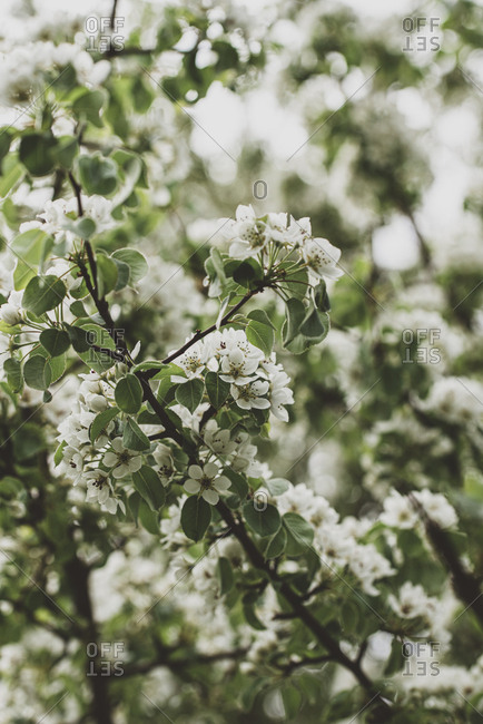 Branches of a tree covered in white flowers in the spring.