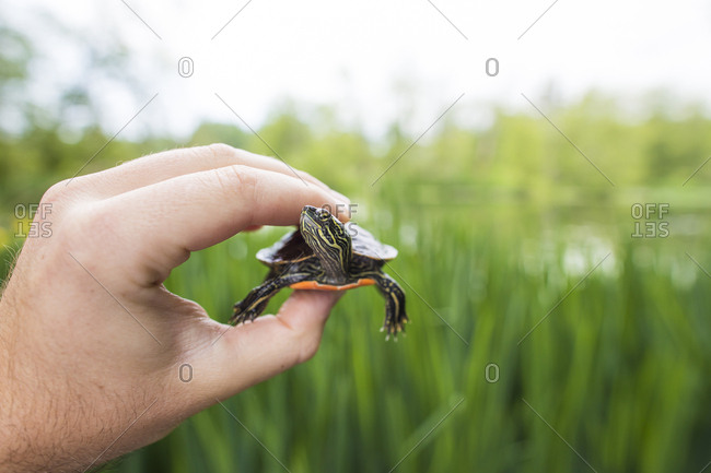 Biologist holds a Western Painted Turtle.