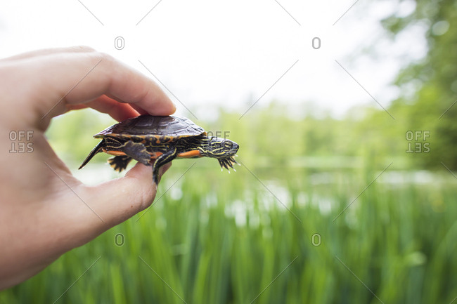 Conservation biologist holds a Western Painted Turtle