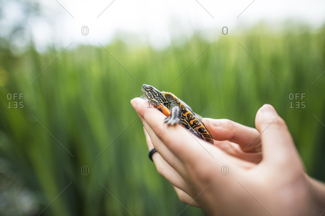 Side view of a biologist holding a Western Painted Turtle