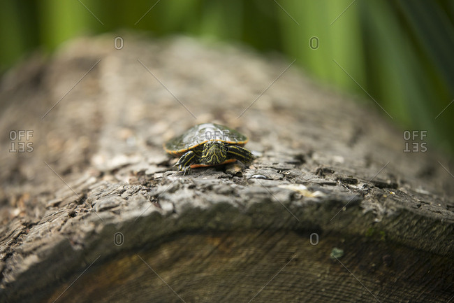 Western Painted Turtle basking on a log